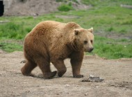 walking-bear